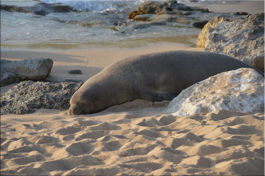 Seal at Ko Olina Beach